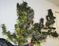 Blue Amnesia autoflower fem, 7 weken van zaad tot oogst. 200 gram per plant in de volle grond
