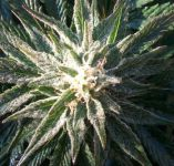 Autoflowers, Semi-Autoflowers en buitensoorten outdoor seeds