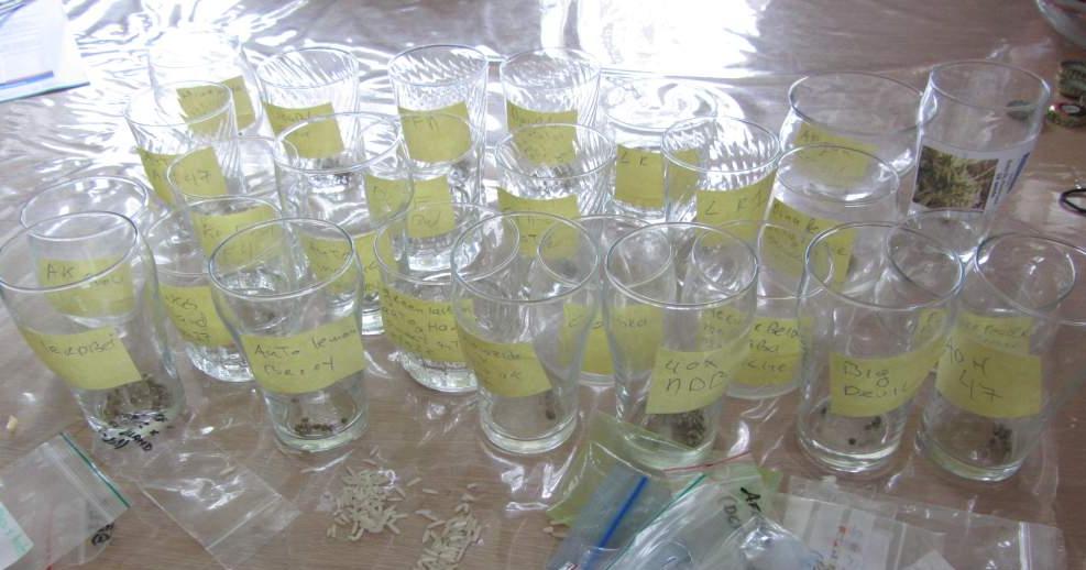 Wietzaadjes ontkiemen in glas water